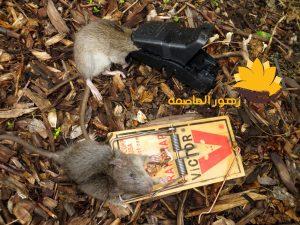 شركه مكافحه الفئران بالرياض